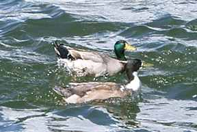 Mallard Ducks on Cedar Creek Lake